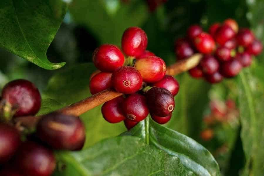 How Do Coffee Beans Grow? Tips for Planting One at Home