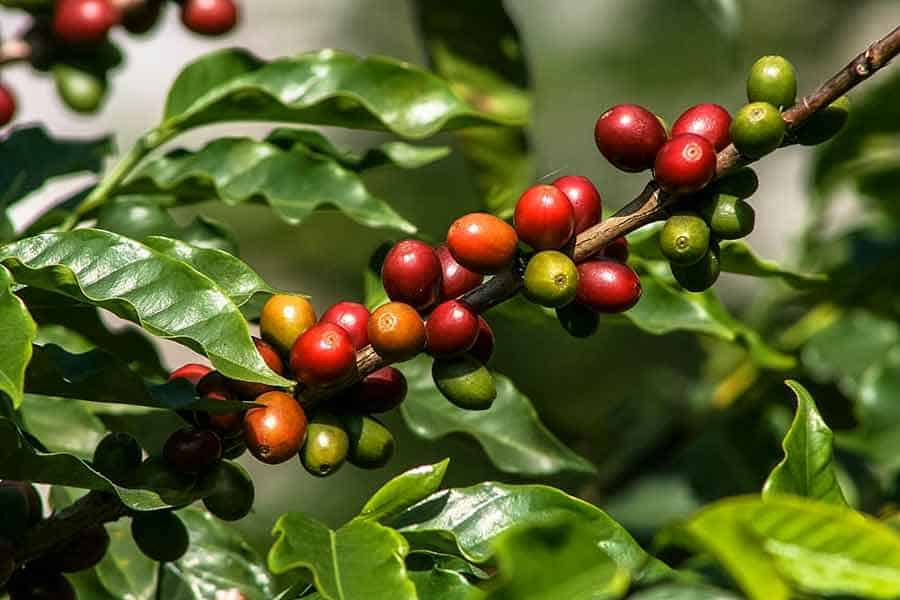 The Basics on the Coffee Plant