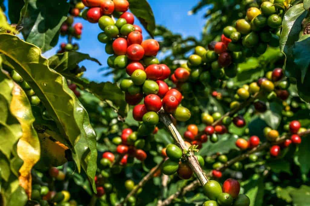 The Types of Coffee Plants