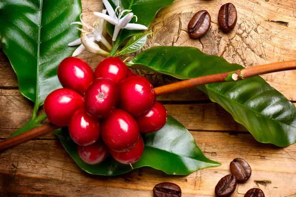 how do coffee beans grow