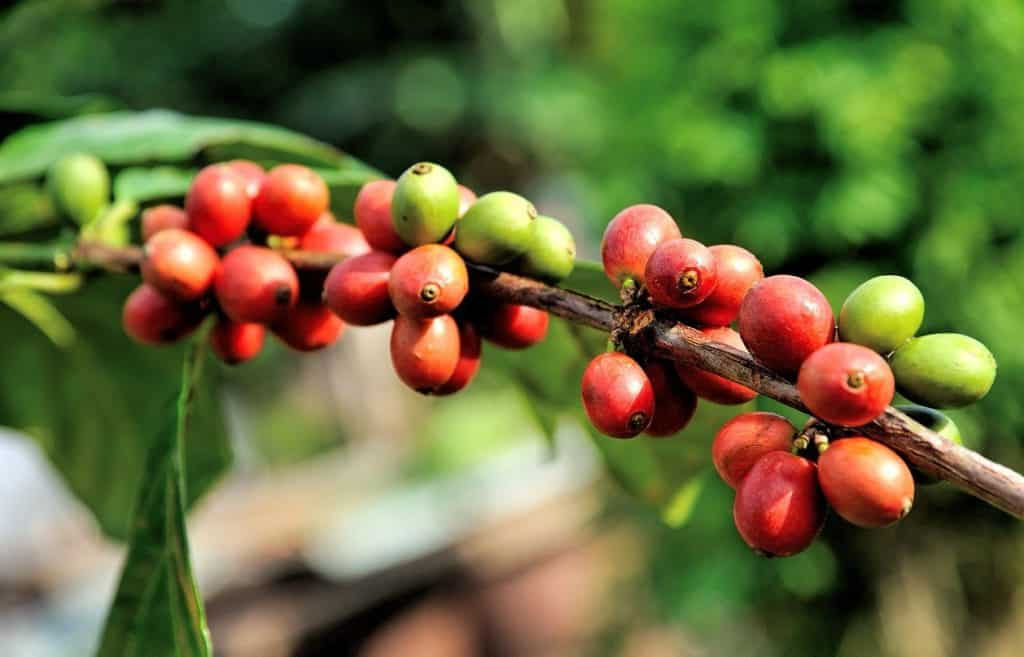 arabica plant