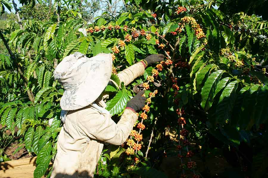 How Are Coffee Beans Made? The Farming Process